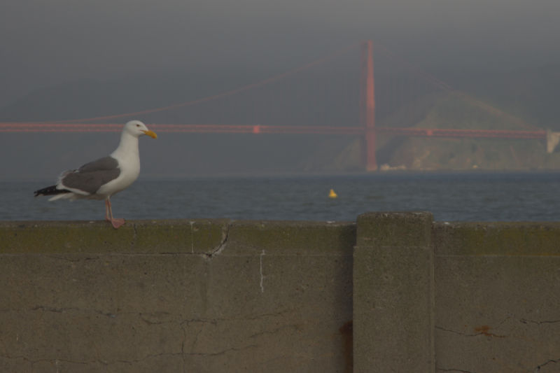 Seagull near the municipal pier and Golden Gate