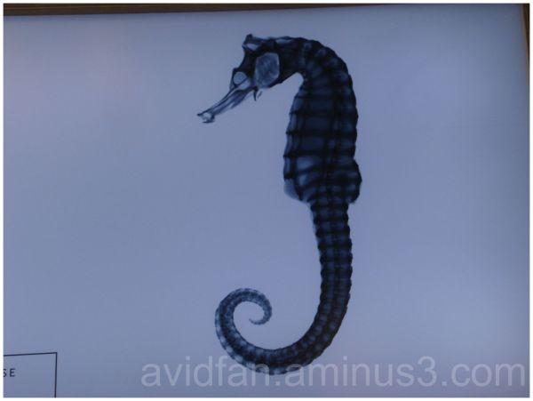 Bony Seahorse