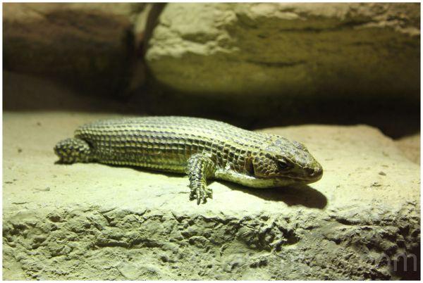Tailess Lizard