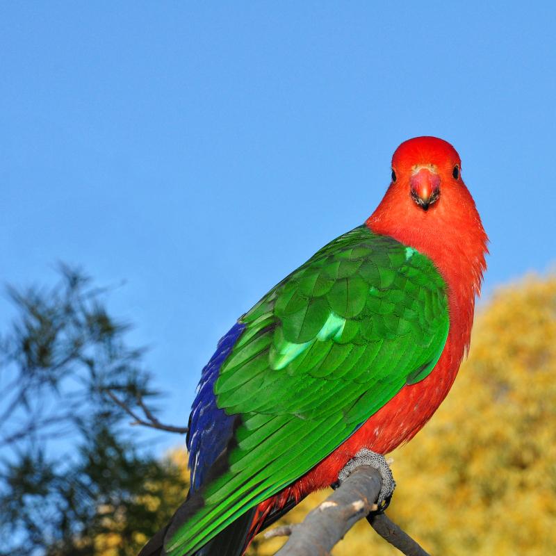 King Parrot in a Canberra garden