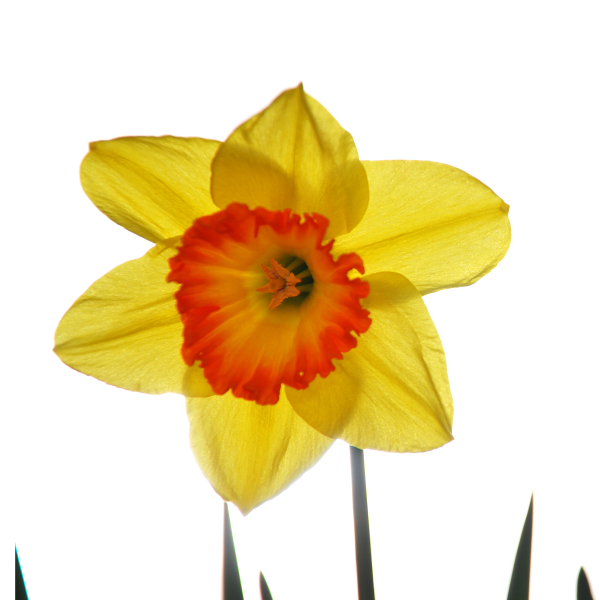 First Daffodil of Spring