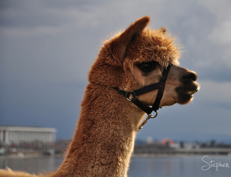Honeycomb the Alpaca beside Lake Burley Griffin