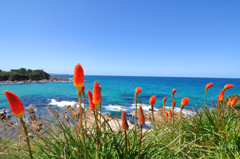 Red Hot Poker flowers at Dalmeny