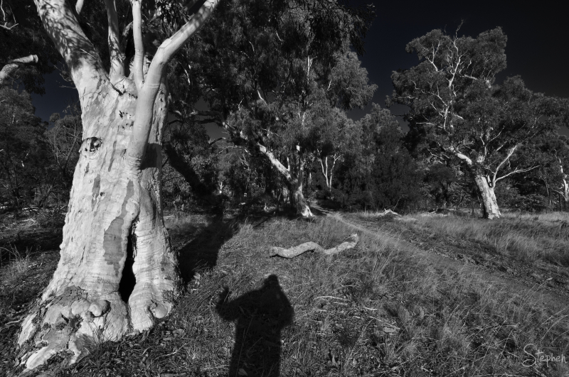 Scribbly Gums on the foothills of Mount Ainslie