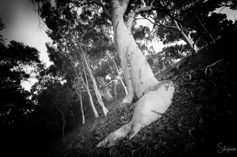Scribbly Gum on the foothills of Mount Ainslie