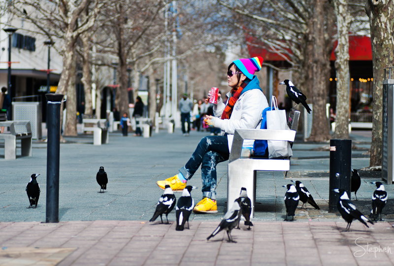Gathering of Magpies in Canberra's Garema Place