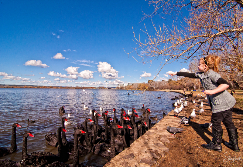 Feedng the Black Swans on Lake Burley Griffin
