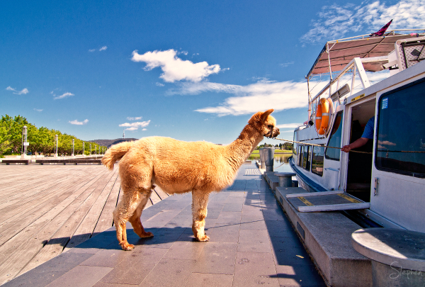 Honeycomb the Alpaca on cruise boat gangway