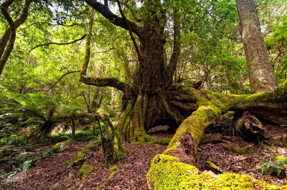 Pinkwood tree - Gulaga National Park