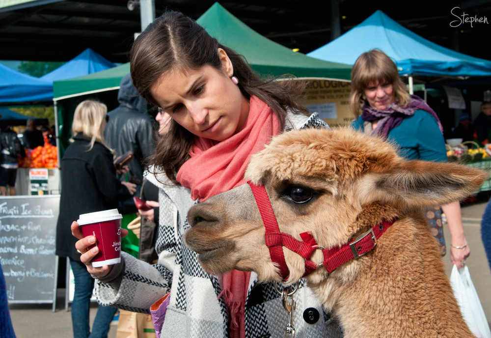 Honeycomb the Alpaca at Canberra Farmers Market