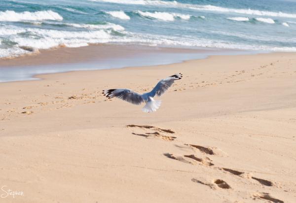 Seagull taking flight at Little Lake near Tilba