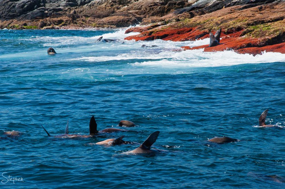 Seals swimming and waving at Montague Island