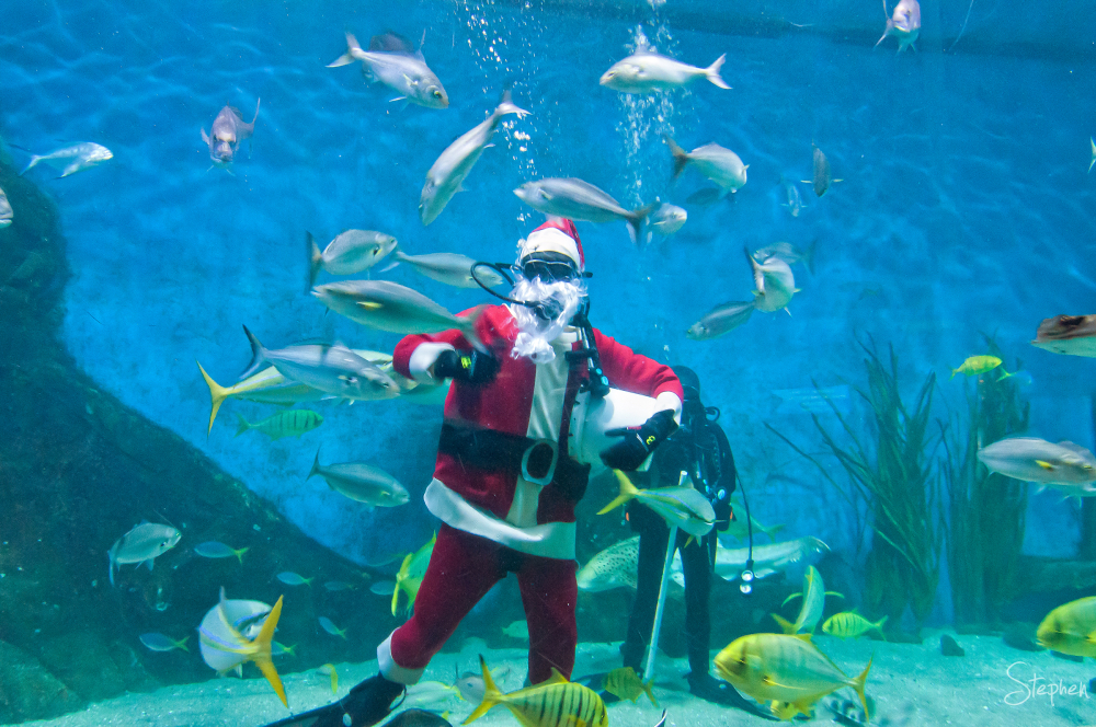 Scuba Santa feeds fish at Melbourne Aquarium