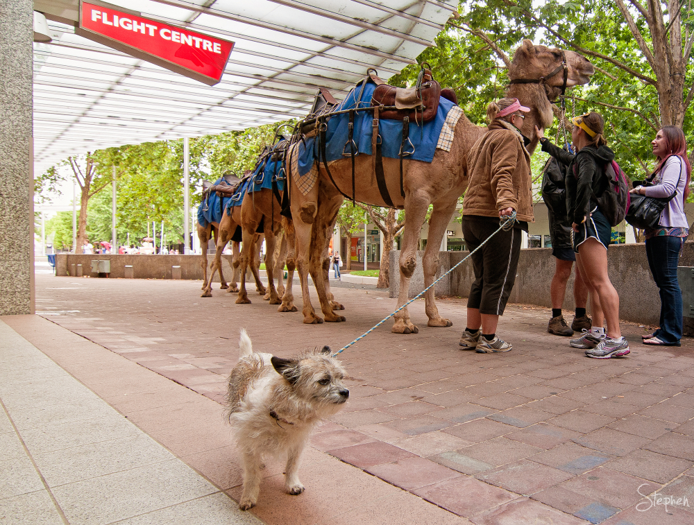 Camel train arrives at City Walk in Canberra