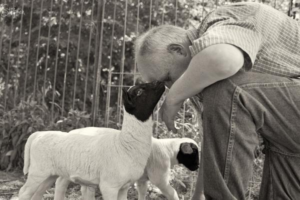 Hand reared Dorper lambs