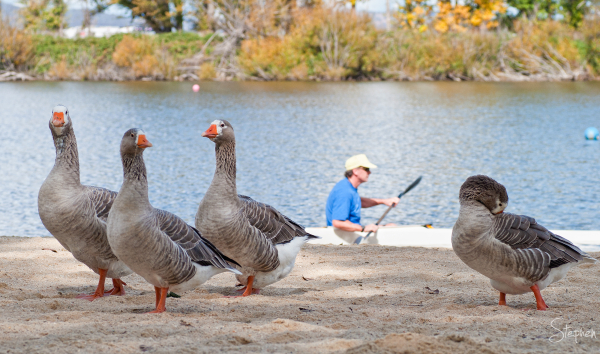 Geese on the beach at Molonglo Reach