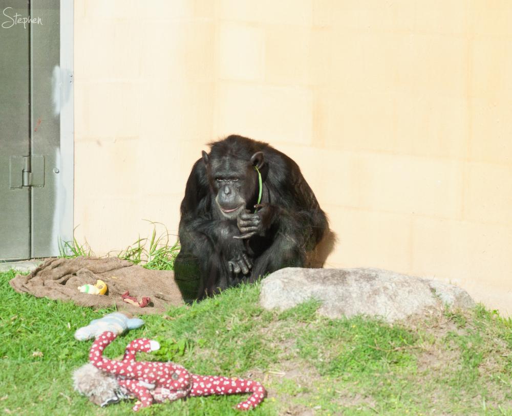 Chimpanzee at Mogo Zoo