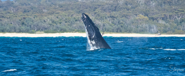 Southern Right Whale off Narooma