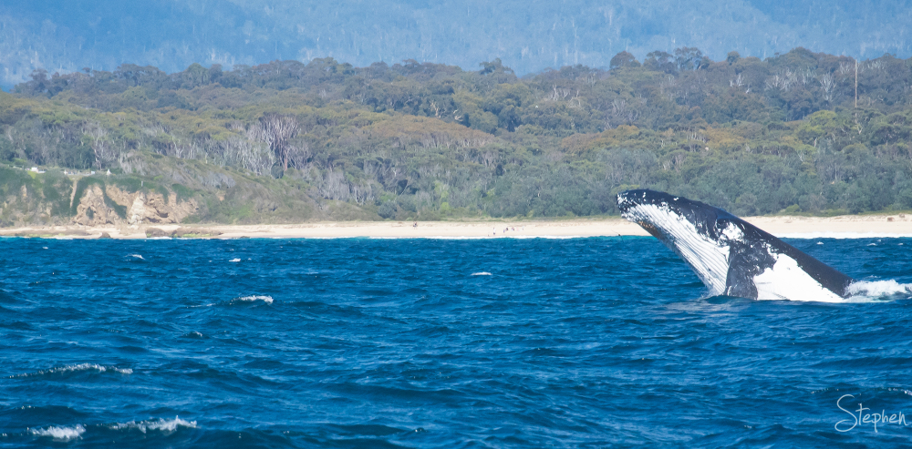 Southern Right Whale off Narooma Surf Beach