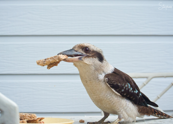 Kookaburra grabs a piece of toast