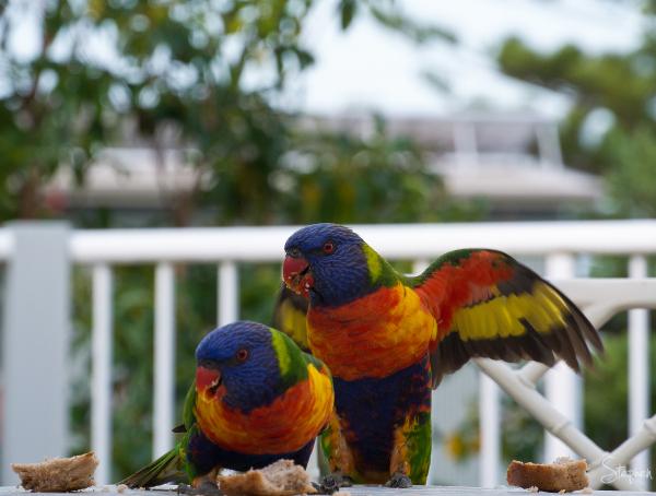 Rainbow Lorikeets arrive for breakfast
