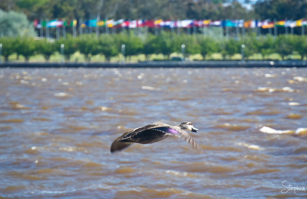 Duck in flight over Lake Burley Griffin