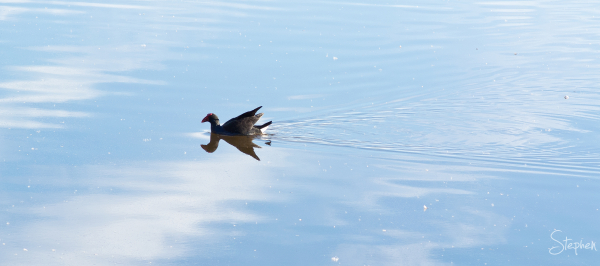 Grebe on the water at Jerrabomberra Wetlands
