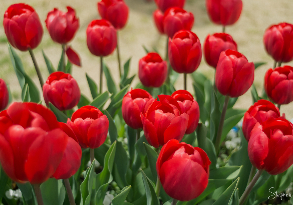Red tulip display at Floriade