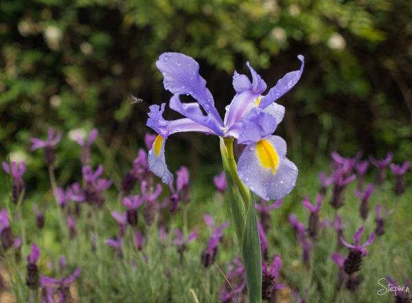 Dutch Iris in Canberra garden