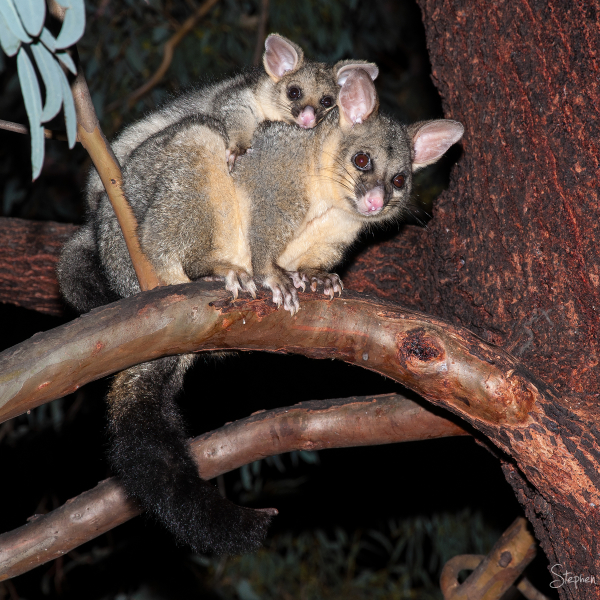 Brushtail Possum in Canberra garden