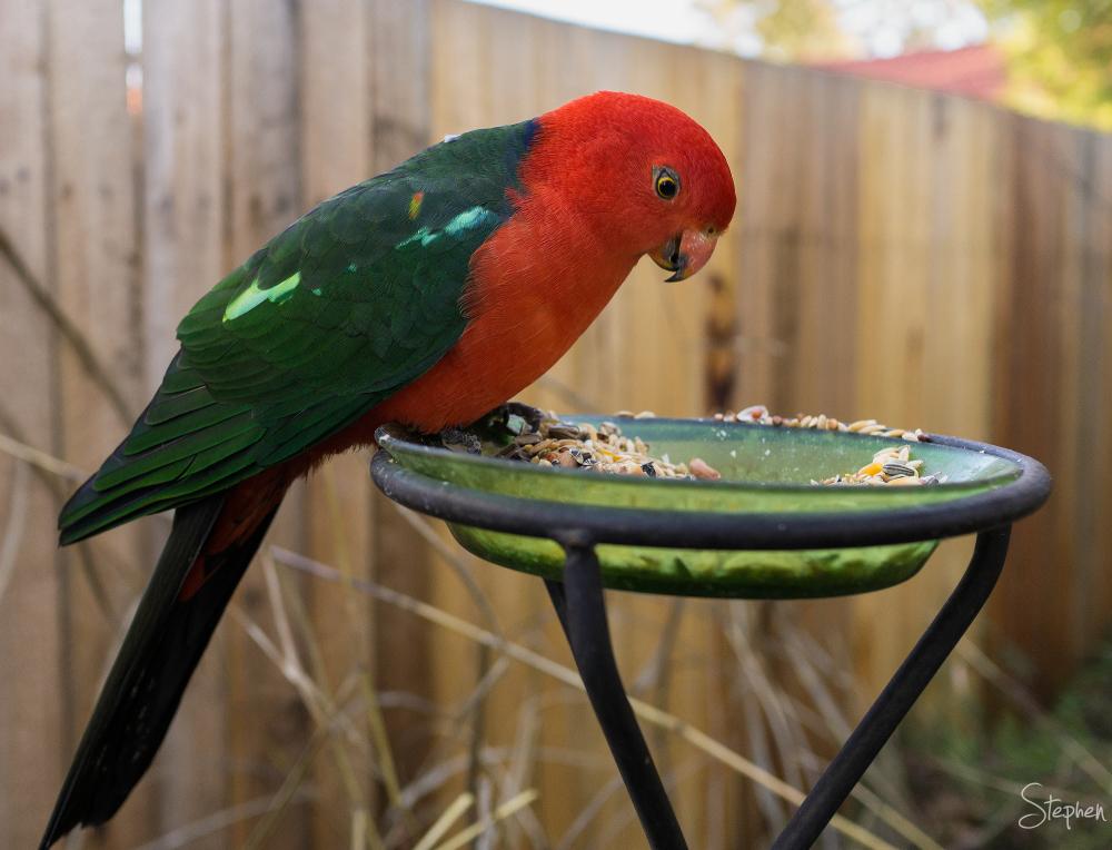 King Parrot in Canberra garden