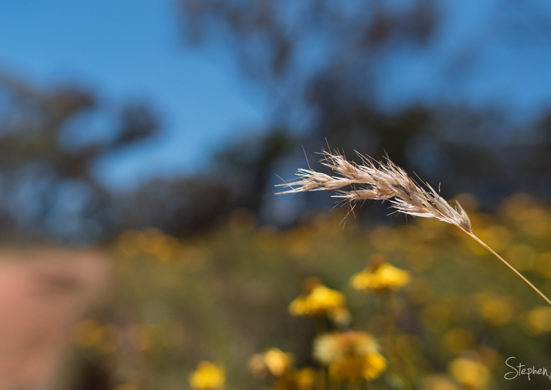 Grass stem and seed head on Mount Ainslie