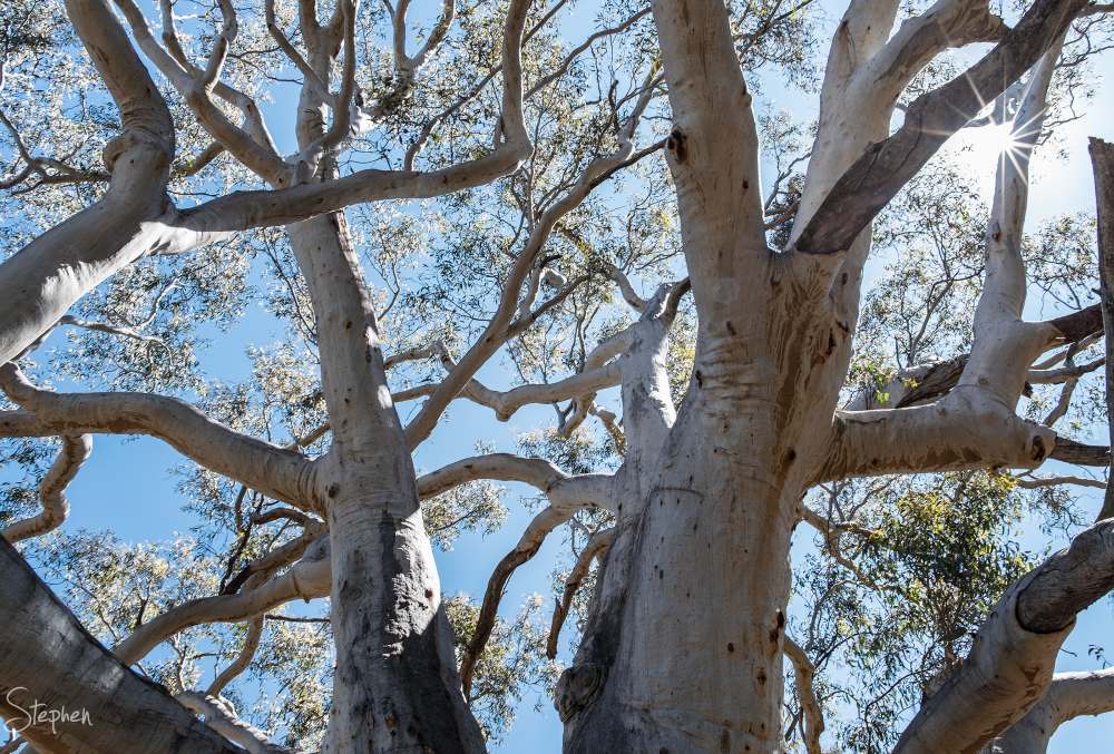 Scribbly Gum on slopes of Mount Ainslie