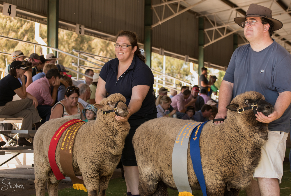 Champion sheep at Canberra Show