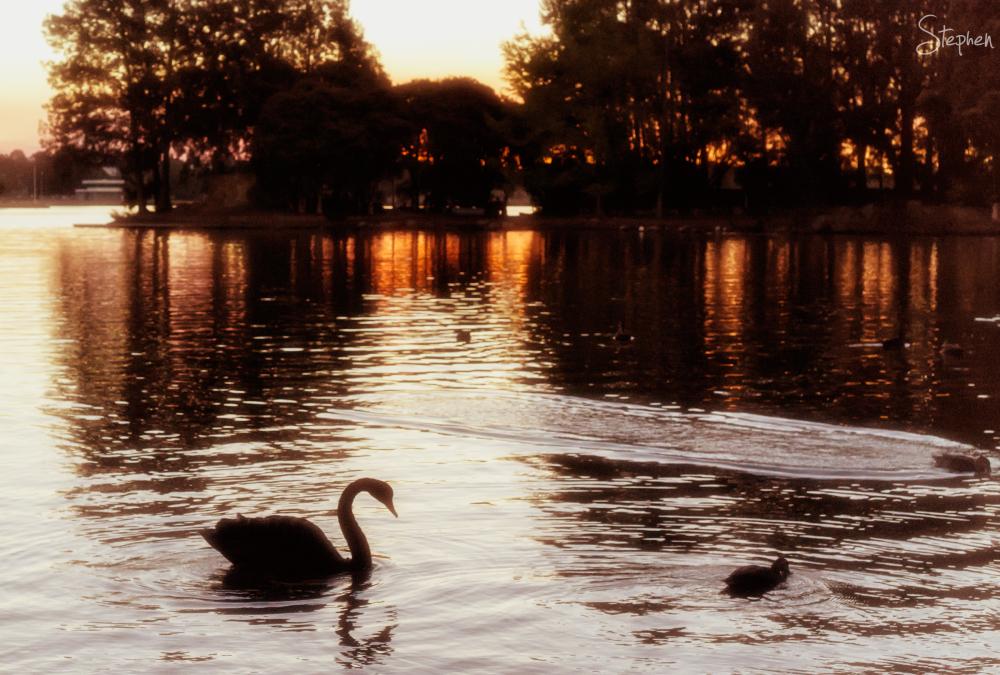 Swan and sunset over Lake Ginninderra