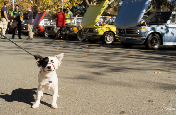 Puppy's day out at Wheels 2016 car show