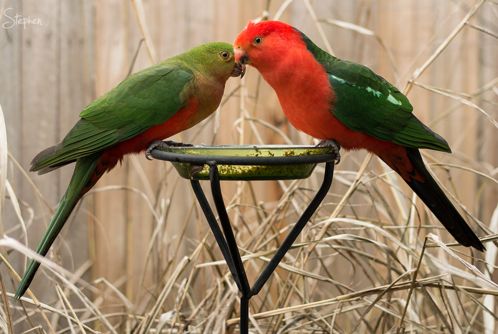 King Parrots in Canberra garden