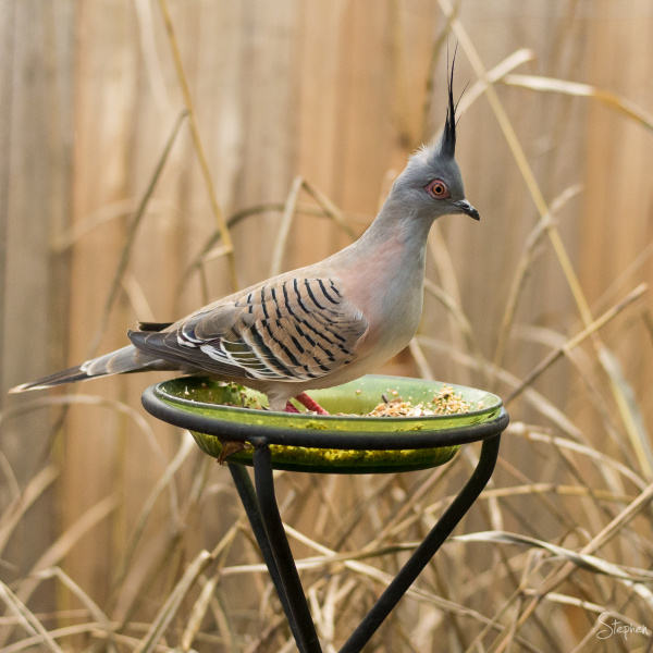 Crested Pigeon in Canberra Garden