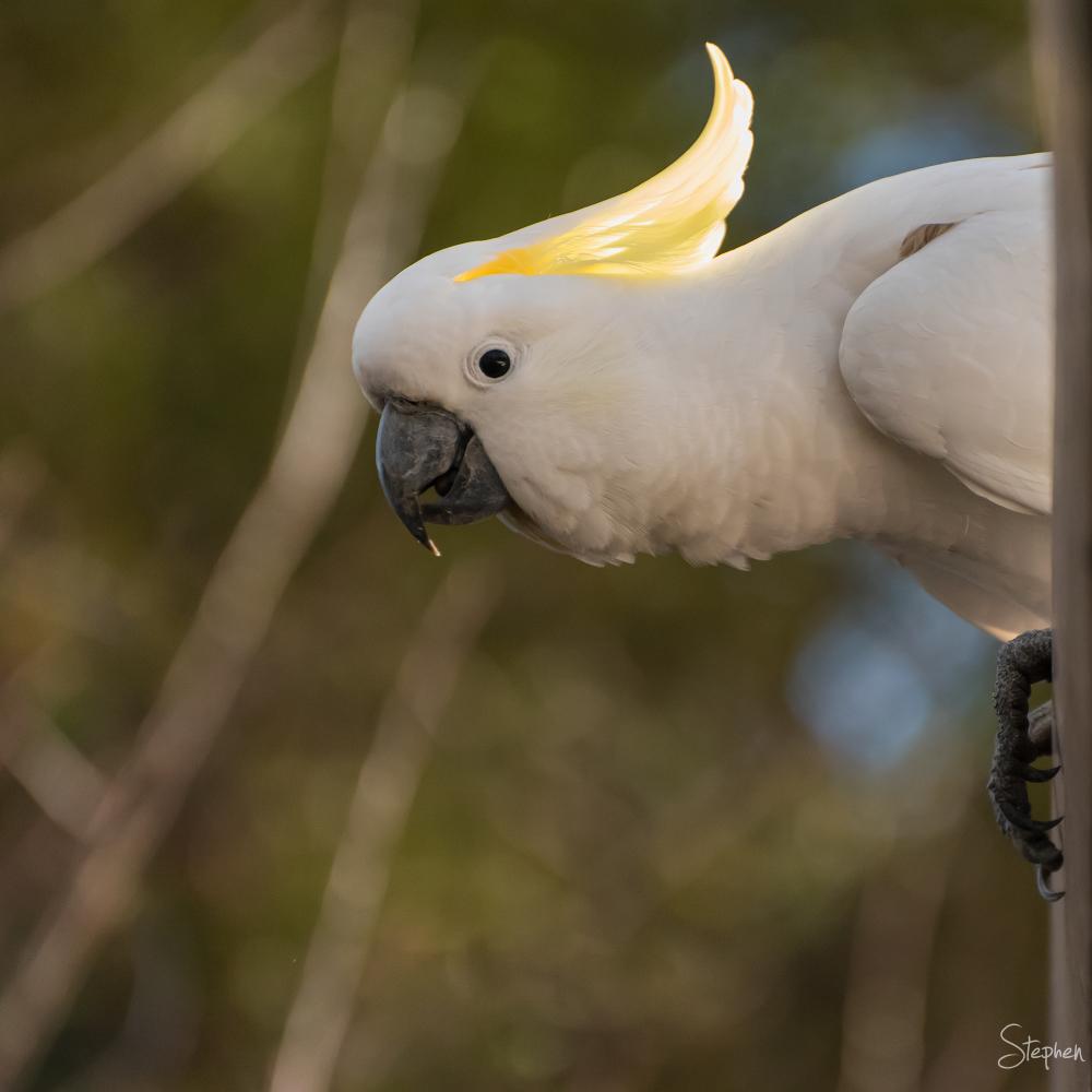 Sulphur-crested Cockatoo in Canberra Garden