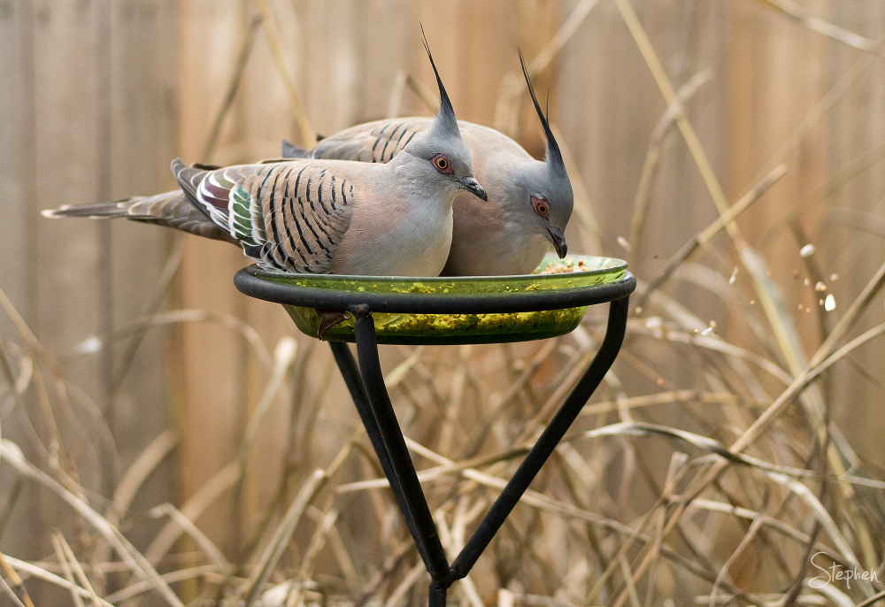 Crested Pigeons in Canberra Garden