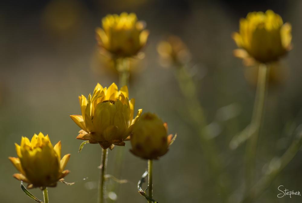 Everlasting Daisy flower on Mount Ainslie