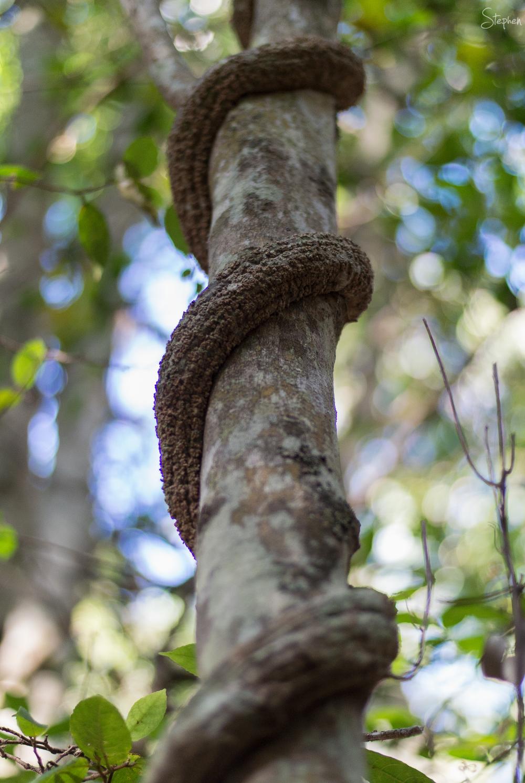 climbing vine in rainforest near Narooma