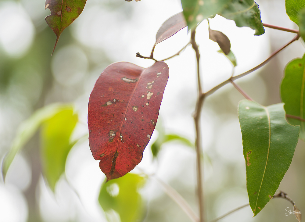 red leaf in rainforest