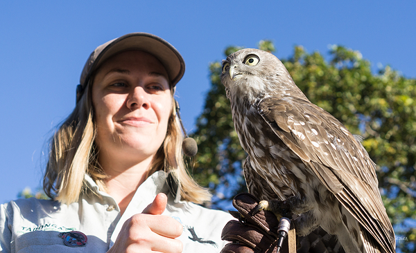 Powerful Owl at Taronga Zoo