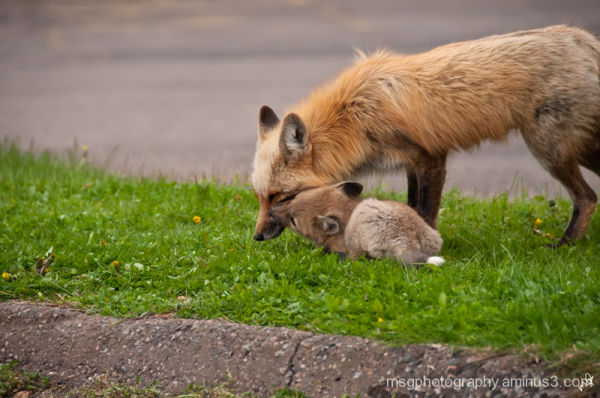 mother fox and kit playing