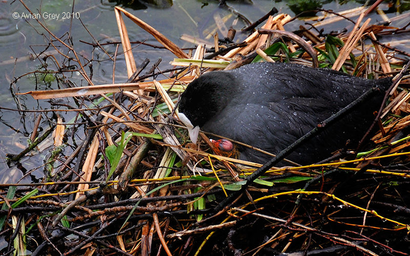 Preview - First Coot Chick 2010