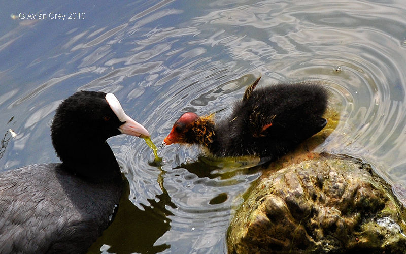 Coot Chick Grows