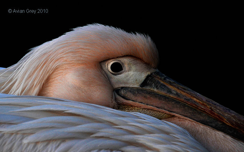 Pelican Original