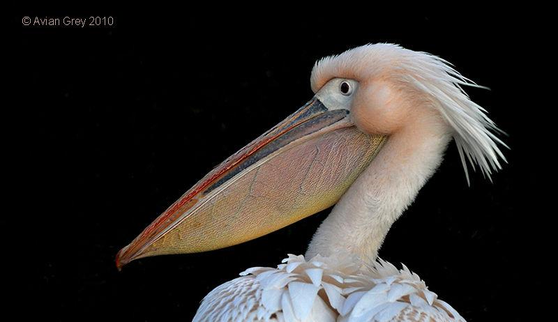 Portrait Pelican 2