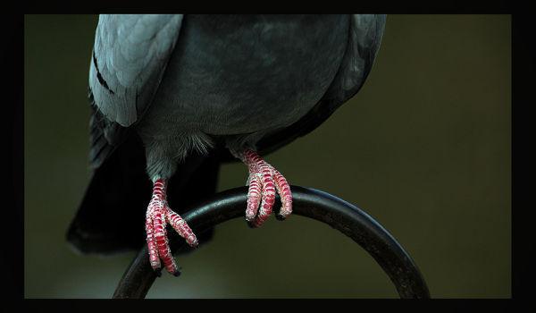 Pigeon Feet
